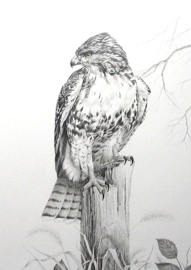 Red tail hawk drawing