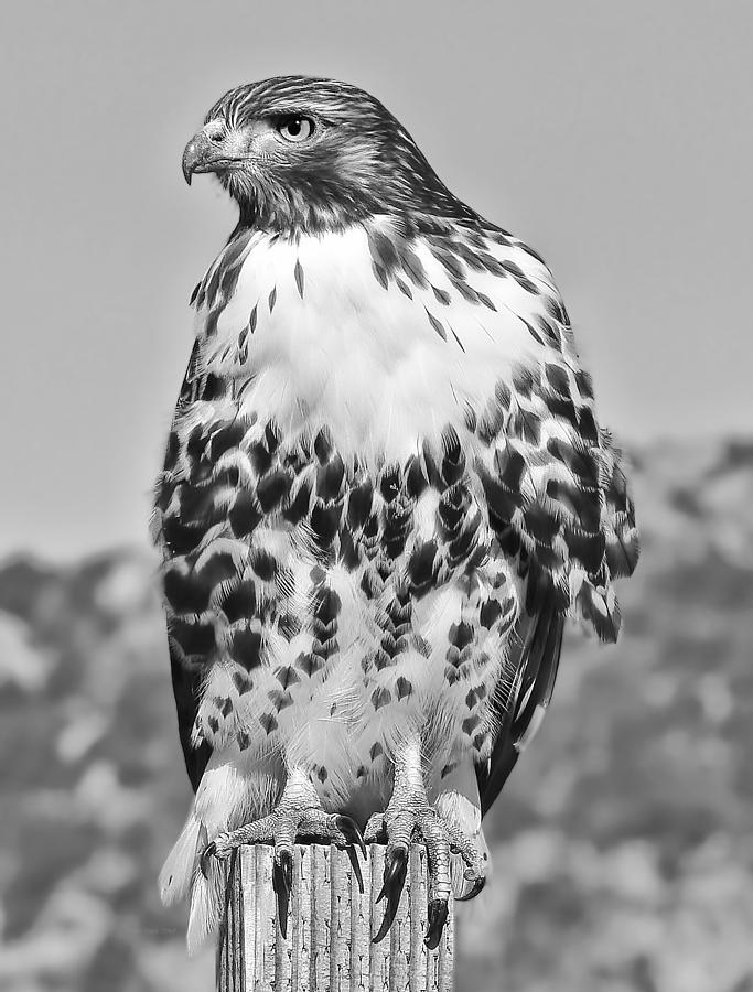 Red Tail Hawk Youth Black And White Photograph  - Red Tail Hawk Youth Black And White Fine Art Print