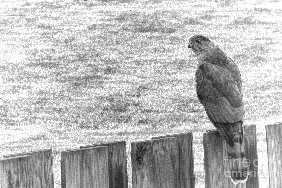 Red Tailed Hawk  Photograph