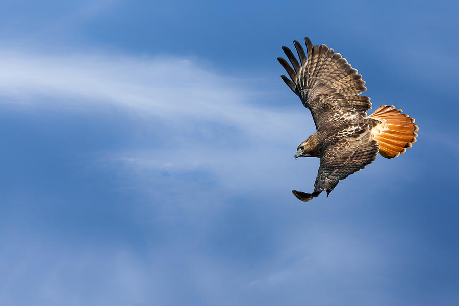 Redtail Hawk Photograph - Red Tailed Hawk Soaring by Bill Wakeley