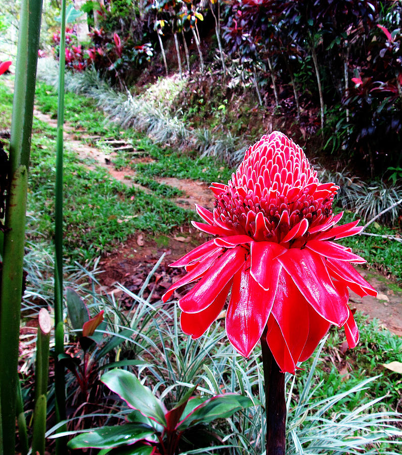 Red Torch Ginger Flower Two Photograph