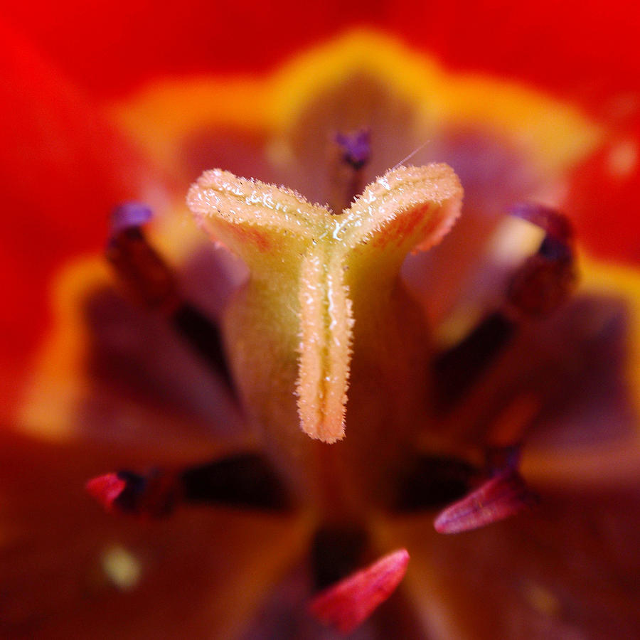 Red Tulip Abstract Photograph  - Red Tulip Abstract Fine Art Print