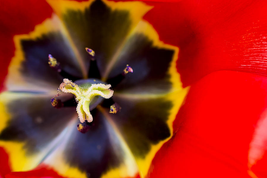 Red Tulip Macro Photograph