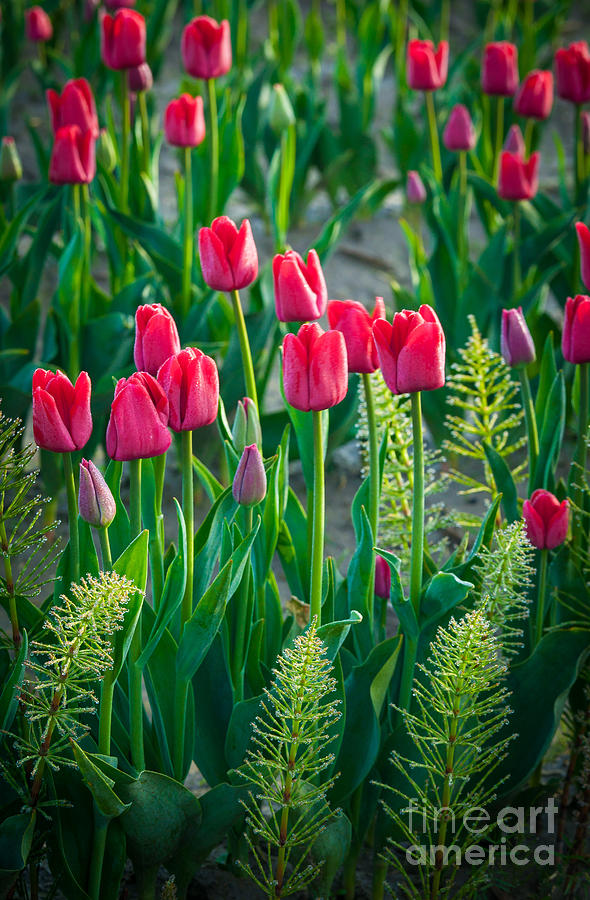 America Photograph - Red Tulips In Skagit Valley by Inge Johnsson