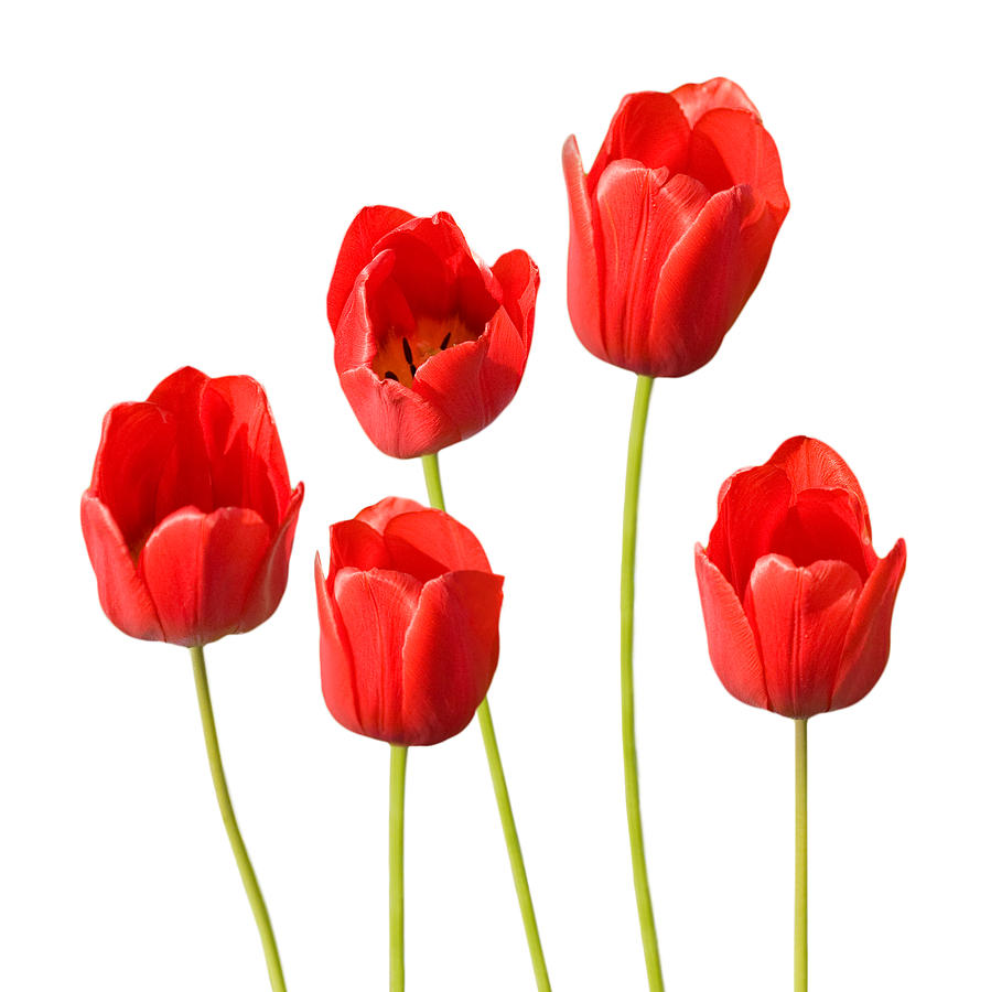 Red Tulips White Background Photograph  - Red Tulips White Background Fine Art Print