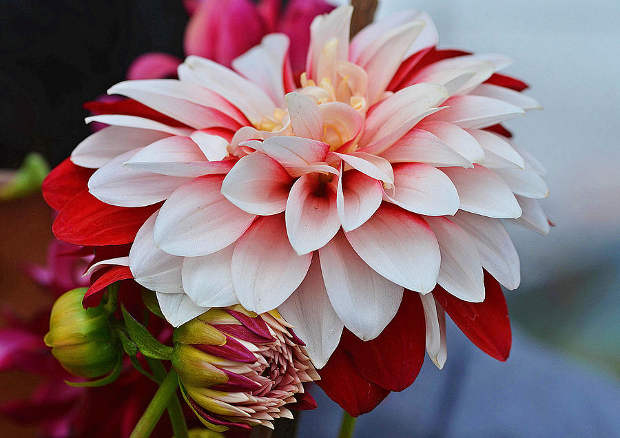 Red White Chrysentimum Flower Photograph