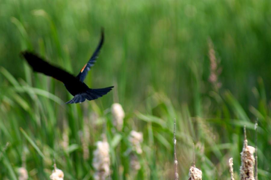 Red Winged Blackbird Photograph
