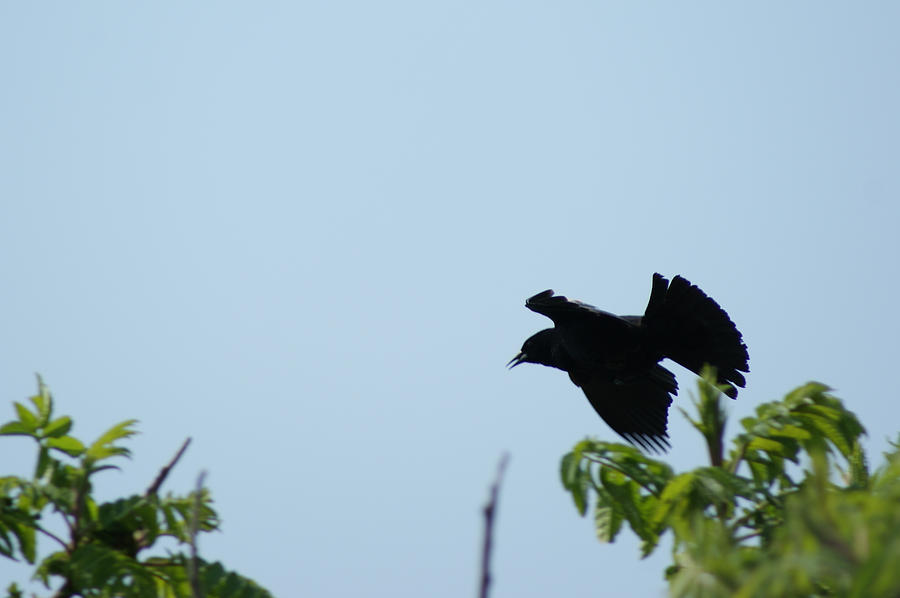 Red Winged Blackbird In Taking Off Photograph