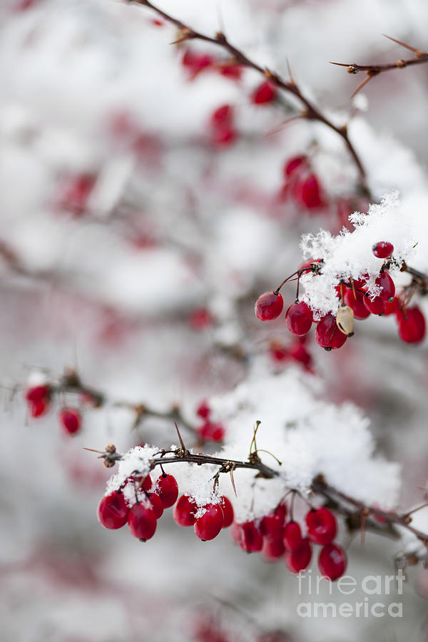 Red Winter Berries Under Snow Photograph
