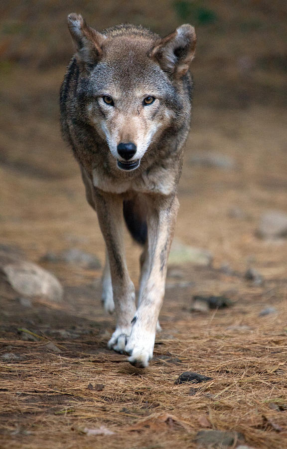 Wolf Photograph - Red Wolf Strut by Karol Livote