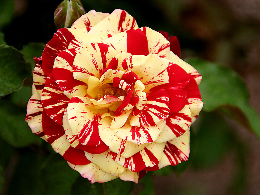 Red Yellow Rose Photograph