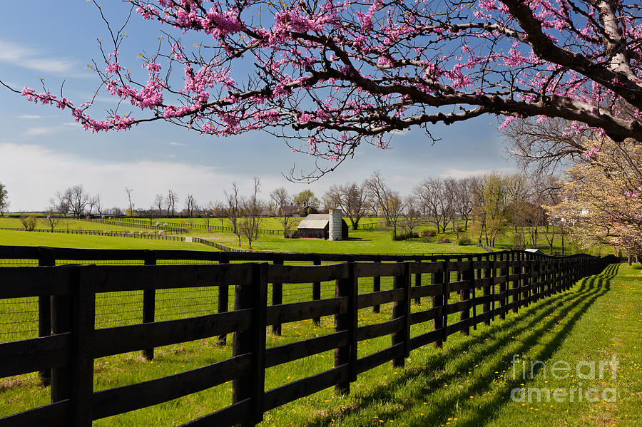 Redbud Trees In Bloom Photograph