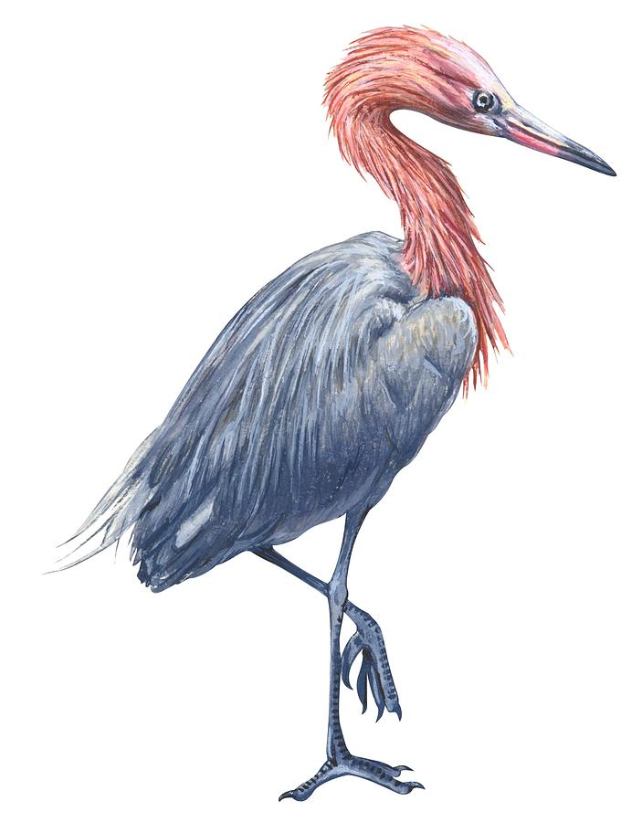 No People; Vertical; Side View; Full Length; White Background; One Animal; Wildlife; Close Up; Zoology; Illustration And Painting; Bird; Beak; Feather; Standing On One Leg; Reddish Egret; Egretta Rufescens Drawing - Reddish Egret by Anonymous