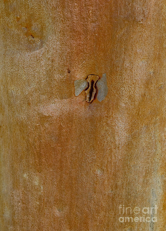 Redgum Tree Photograph