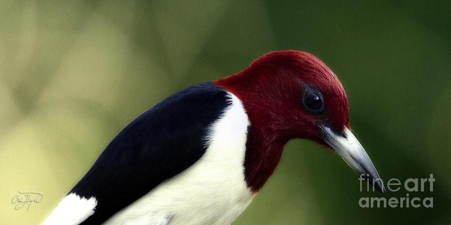 Redheaded Woodpecker At Dusk Photograph