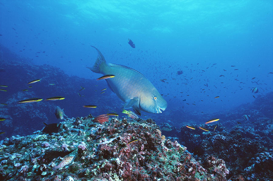 Redlip Parrotfish And Coral Roca Photograph by Tui De Roy