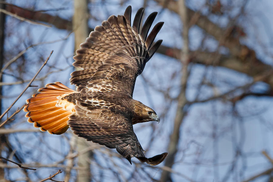 Redtail Hawk Photograph