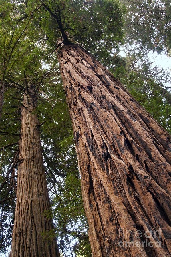 Landscaping With Redwood Trees : Redwood redwoods tree trees canopy canopies landscape landscapes