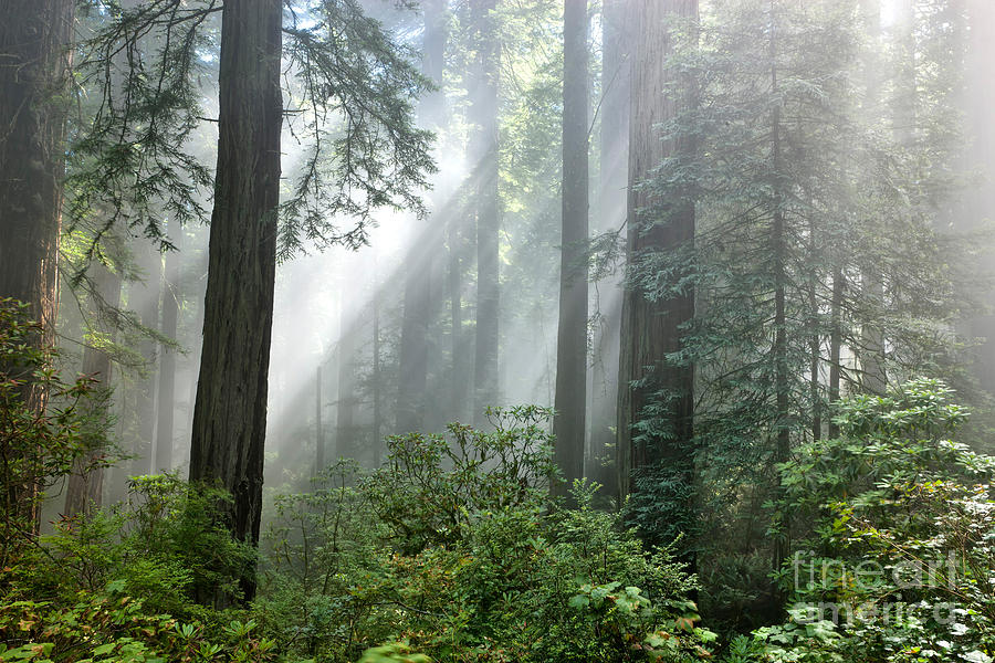Redwood Forest With Sunbeams Photograph