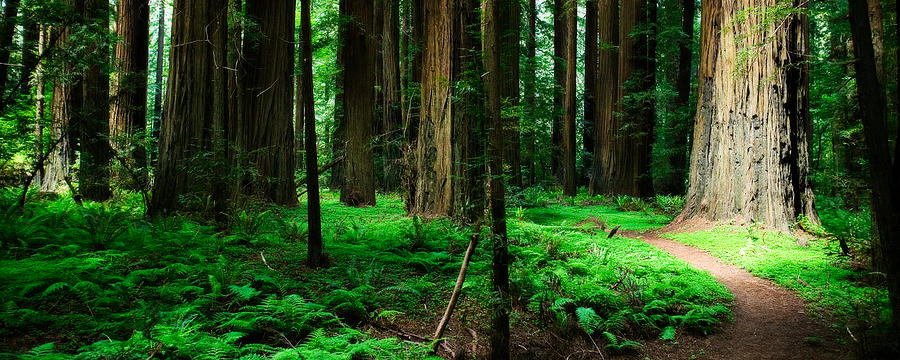 Redwood Path Photograph
