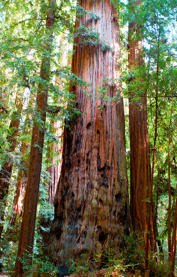 Redwood Tree PhotographRedwood Tree Painting