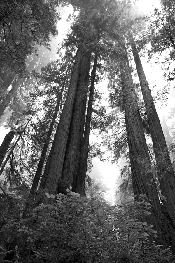 Redwoods In The Fog Photograph
