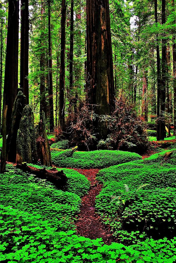 Redwoods Wonderland Photograph