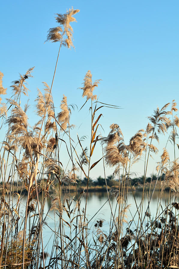 Reed Grasses By A Lagoon  Photograph  - Reed Grasses By A Lagoon  Fine Art Print