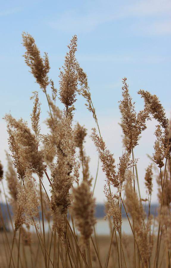 Reed Photograph - Reeds by Tammy Davis