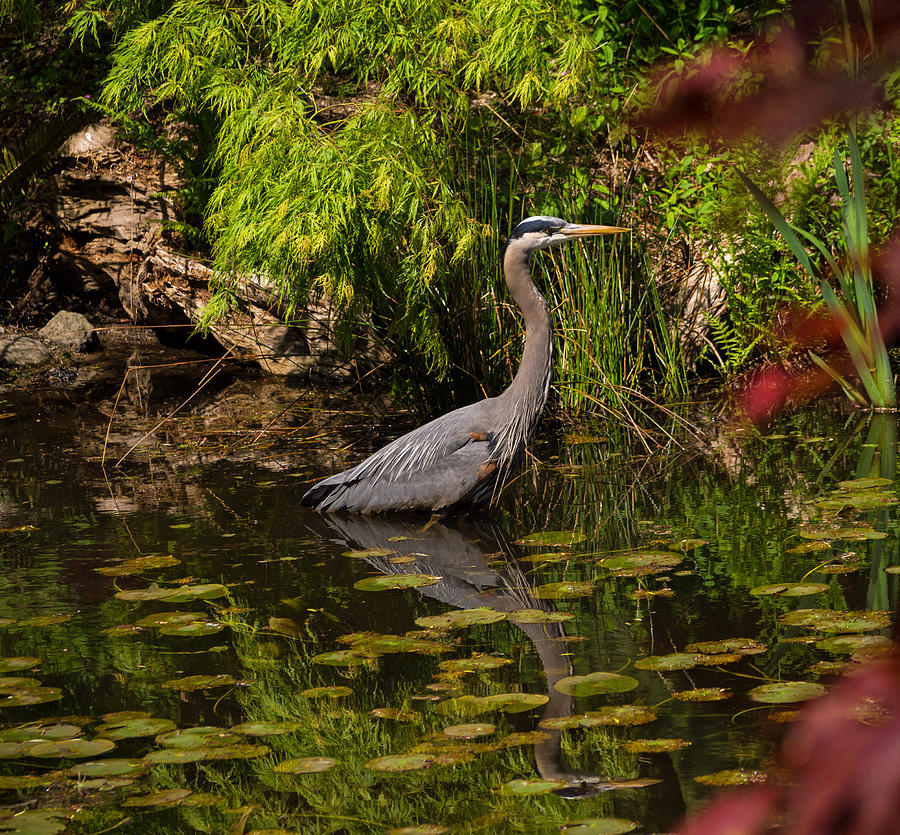 Reflective Great Blue Heron Photograph