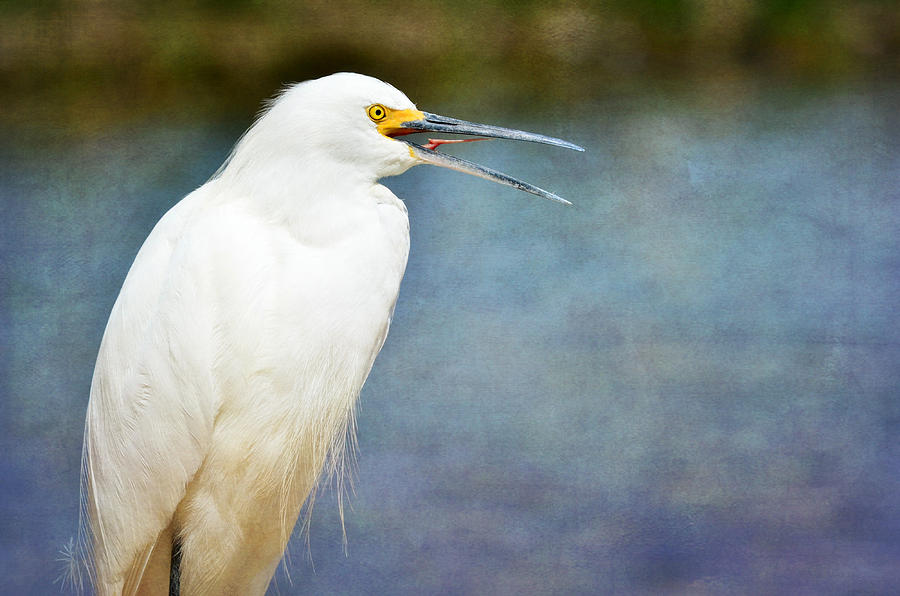 Snowy White Egret Photograph - Release by Fraida Gutovich