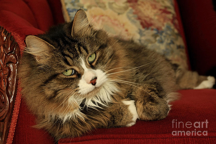Rescue Cat Living In The Lap Of Luxury Photograph  - Rescue Cat Living In The Lap Of Luxury Fine Art Print
