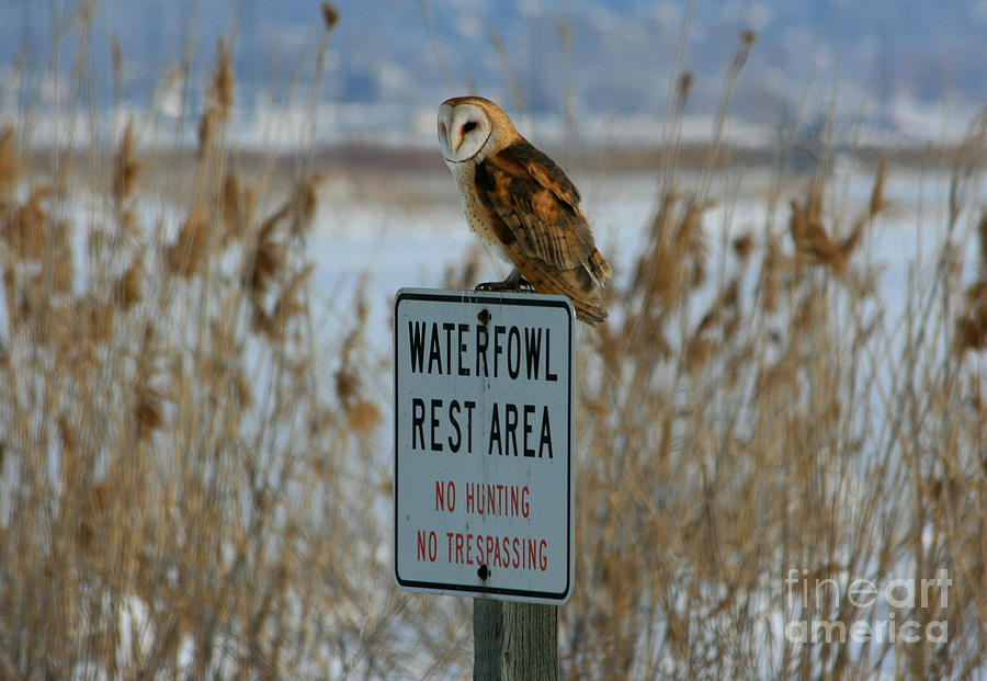Barn Owl Photograph - Resting Owl by Marty Fancy