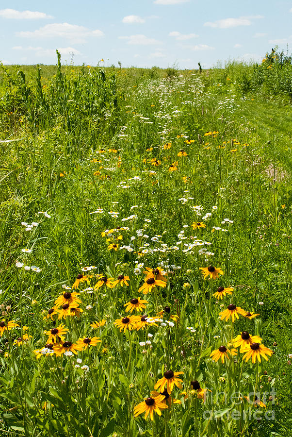 Restored Tall Grass Prairie At The Herbert Hoover National Historic Site Outside West Branch Iowa Photograph