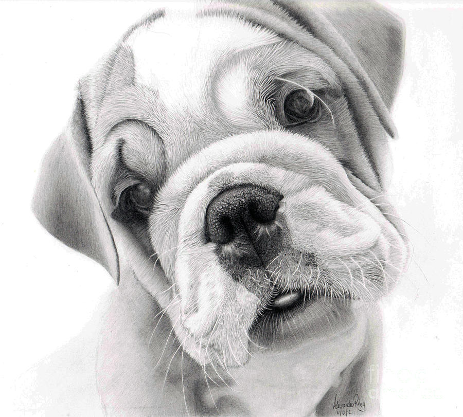 Concept Design Home: Cute Bulldog Drawing Images