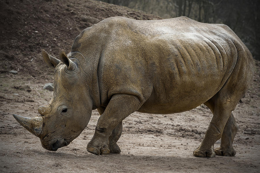 Rhinoceros Photograph  - Rhinoceros Fine Art Print