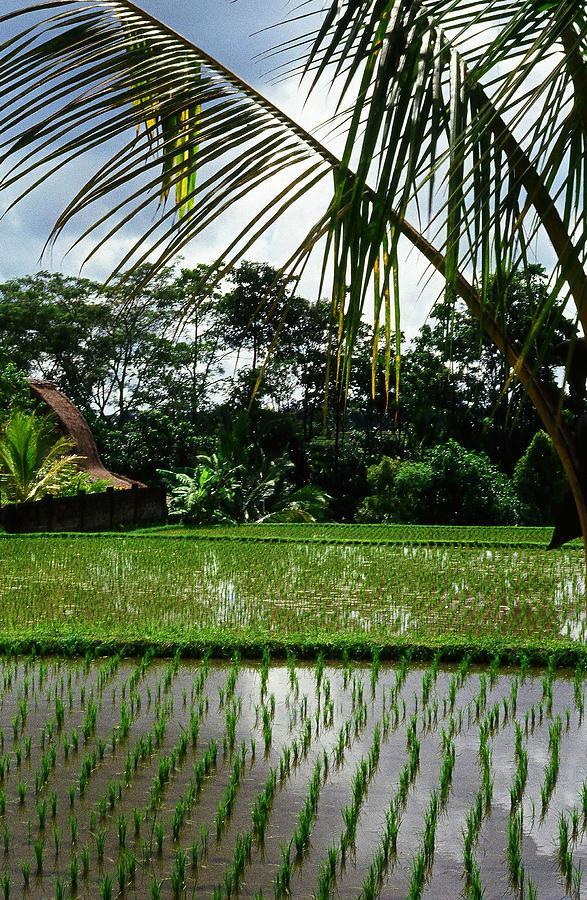 Rice Fields Bali Photograph