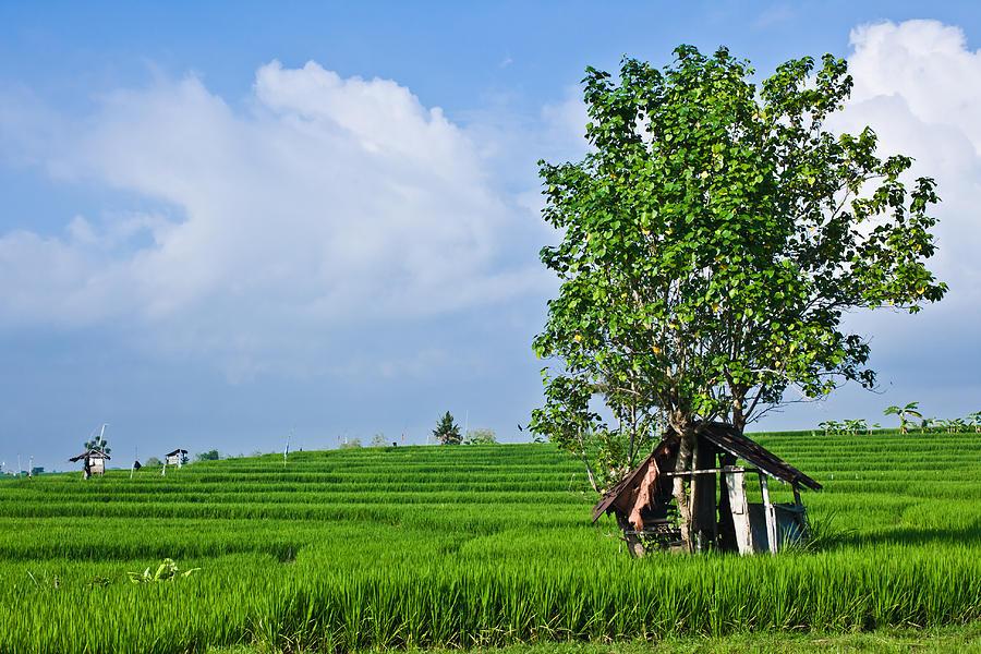 Rice Photograph - Rice Fields by Nila Newsom