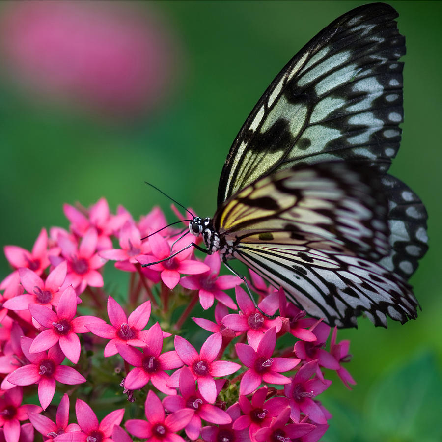 Rice paper butterfly photograph by joann vitali for White paper butterflies