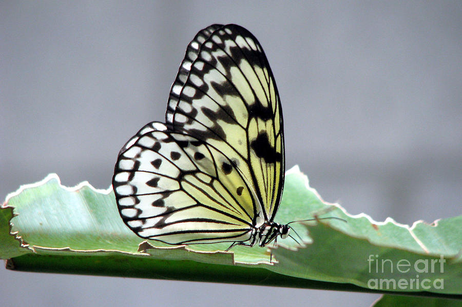 Rice Paper Butterfly On A Leaf Photograph  - Rice Paper Butterfly On A Leaf Fine Art Print