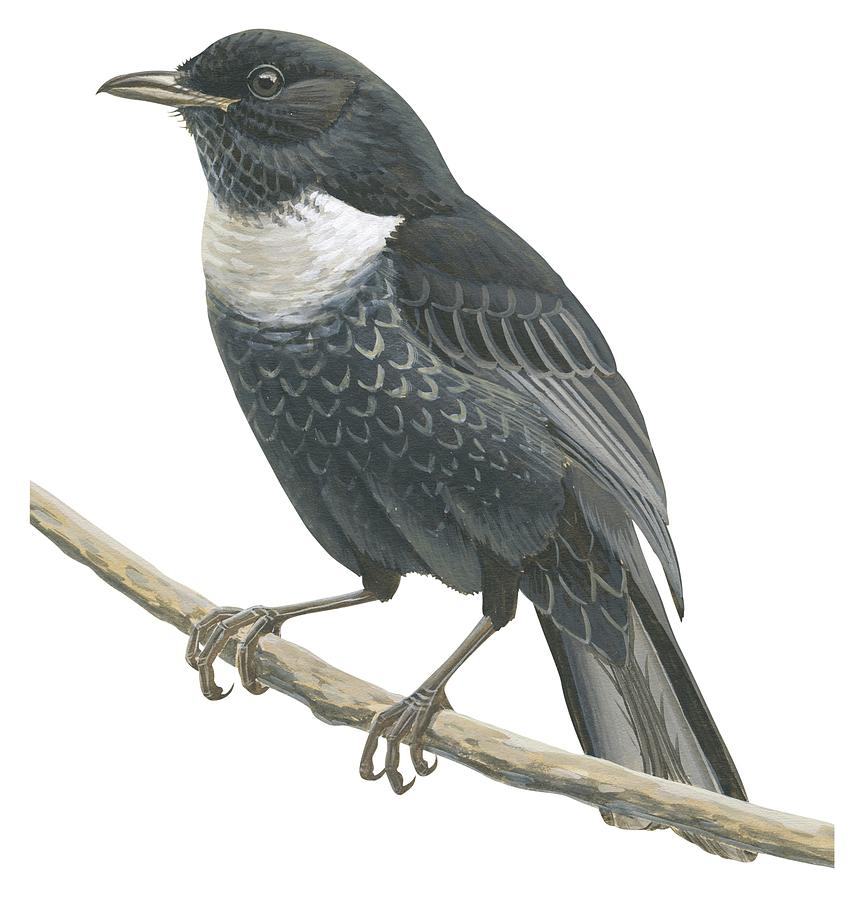 No People; Square Image; Side View; Full Length; One Animal; Animal Themes; Nature; Wildlife; Beauty In Nature; Ring-ouzel; Turdus Torquatus; Perching; Twig; Black; White Drawing - Ring Ouzel  by Anonymous