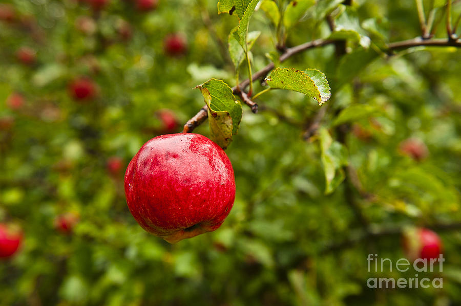 Ripe Apples. Photograph