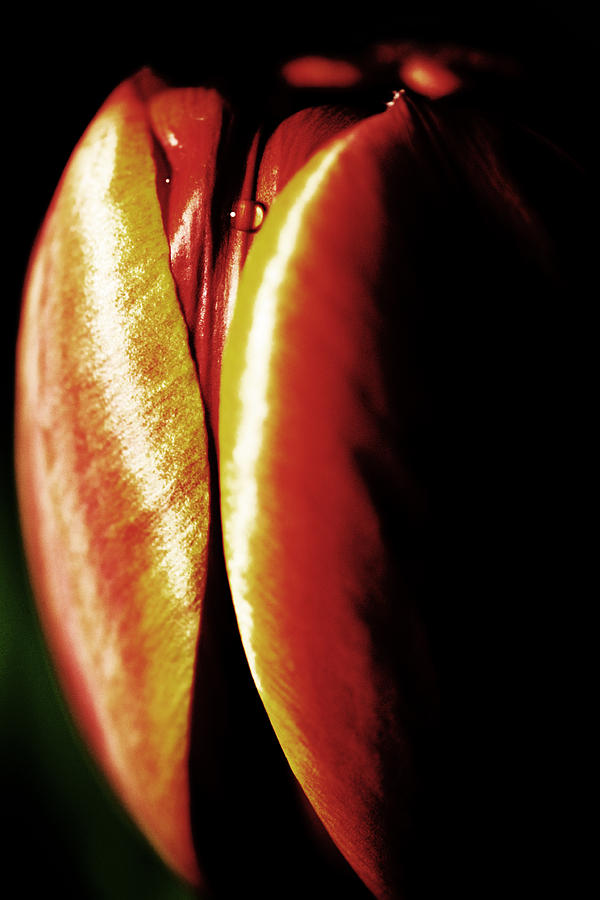 Ripening Tulip Photograph