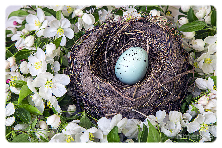 Robins Nest Photograph  - Robins Nest Fine Art Print