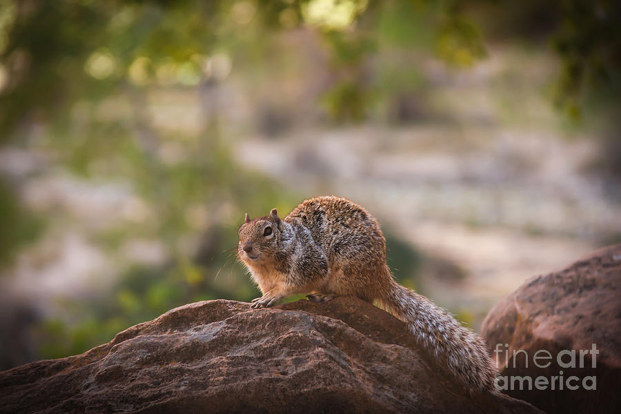 Rock Squirrel In Zion Photograph  - Rock Squirrel In Zion Fine Art Print