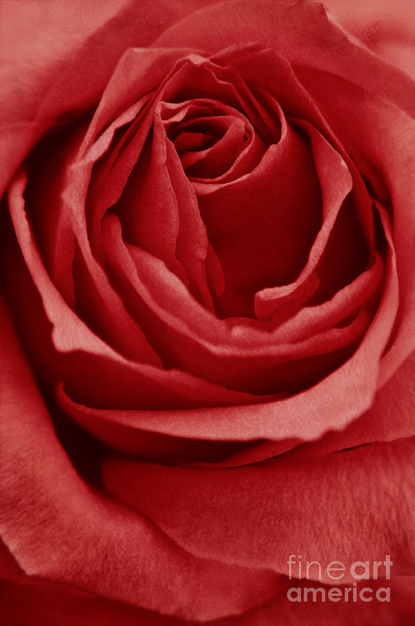 Rose Photograph - Romance IIII by Angela Doelling AD DESIGN Photo and PhotoArt
