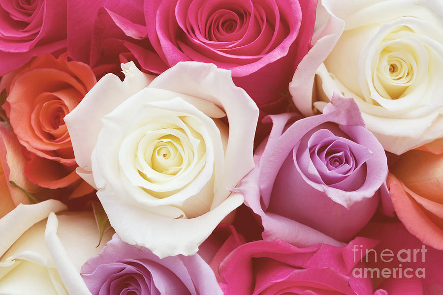 Romantic Rose Garden Photograph  - Romantic Rose Garden Fine Art Print