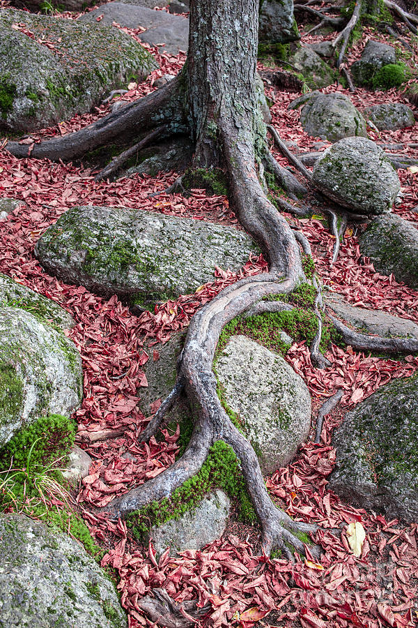 Rocky Photograph - Roots by Edward Fielding
