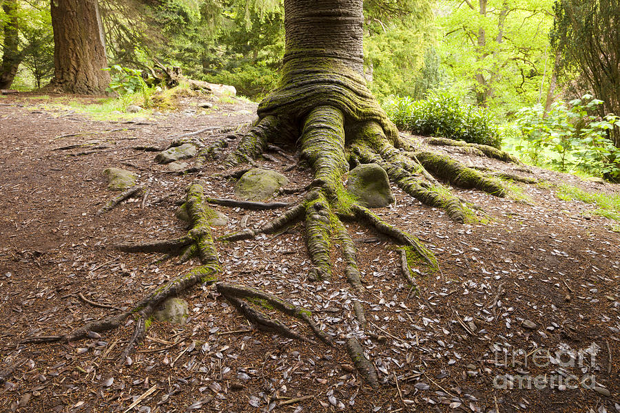 Roots Of Monkey Puzzle Tree Photograph