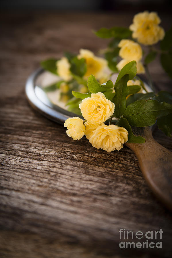 Rosa Banksiae Lutea Photograph